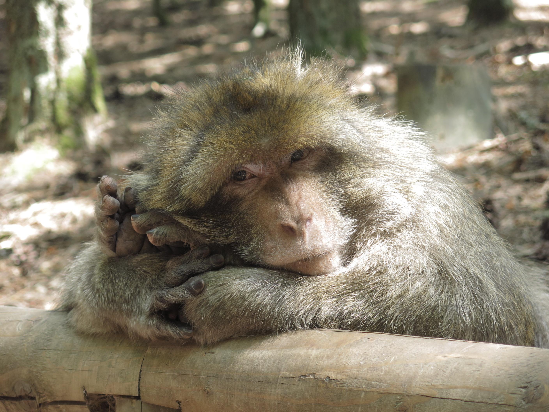 Les singes et leurs postures improbables..